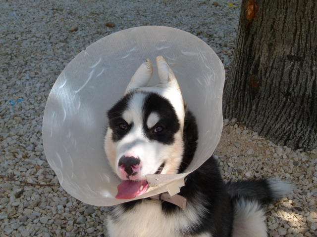 Malamute with ears bandages - De La Coleen d'Urok - The Alaskan Malamute